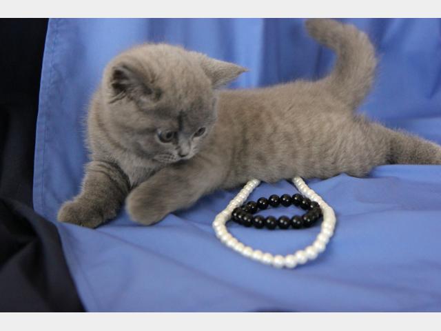 Продаю:  котенка