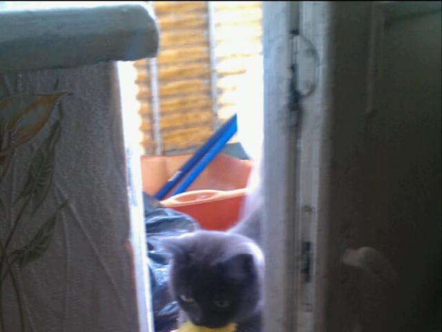 Потерялся/Нашелся: В Кузьминках пропала любимая кошка Британка