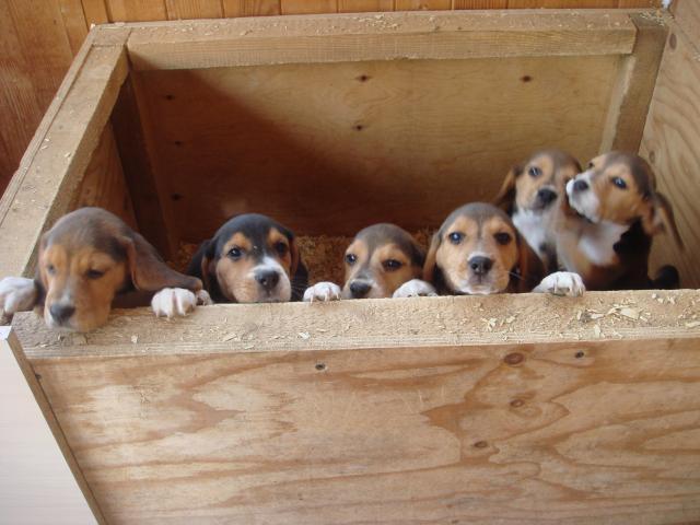 Продаю:  клубных щенков породы Бигль фото2
