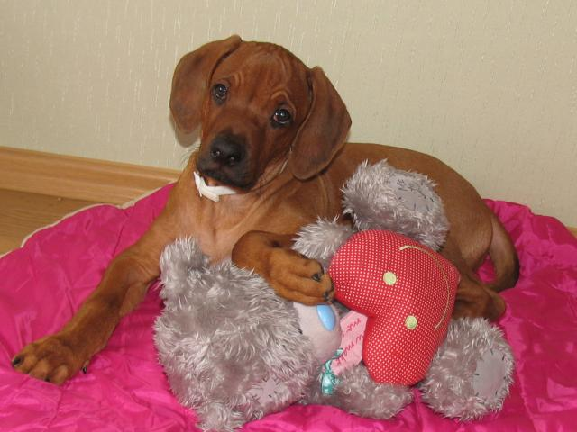 Продаю: Родезийский Риджбек щенок фото3