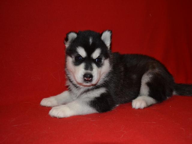 Продаю: Шикарные щенки сибирский хаски фото2