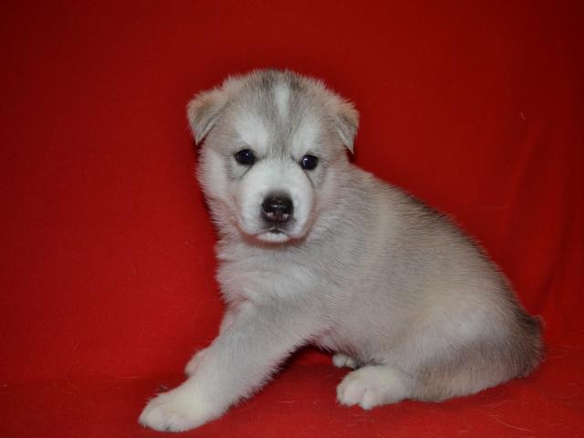 Продаю: Шикарные щенки сибирский хаски фото3