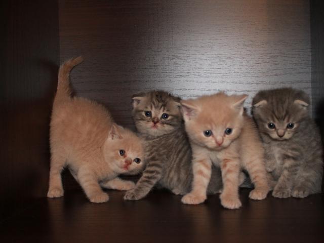 Продаю: котята фолд и страйт