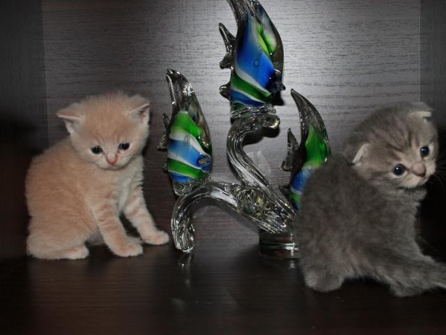 Продаю: котята фолд и страйт фото2