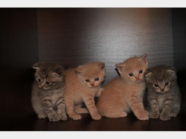 Продаю: котята фолд и страйт фото3