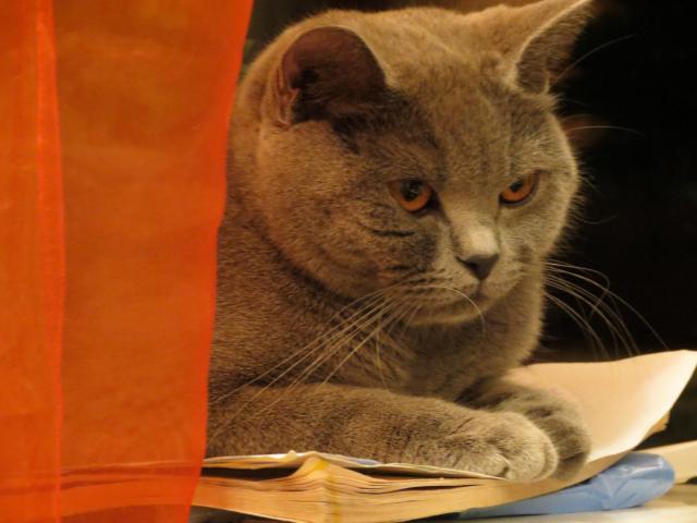 Продаю: Элитные плюшевые британские котята фото2