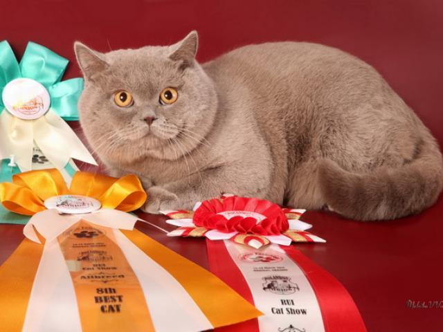 Продаю: Элитные плюшевые британские котята фото3