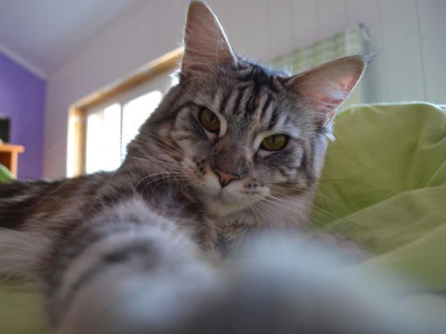 Продаю: заМУРчательная кошка фото2