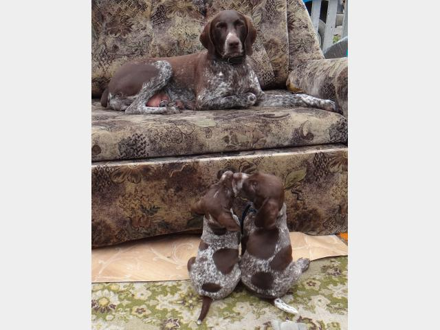 Продаю: щенки курцхаара фото2