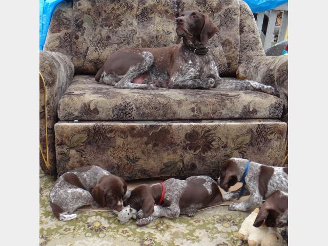 Продаю: щенки курцхаара фото3