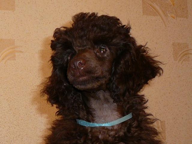 Продаю: щенок миниатюрного (карликового) пуделя