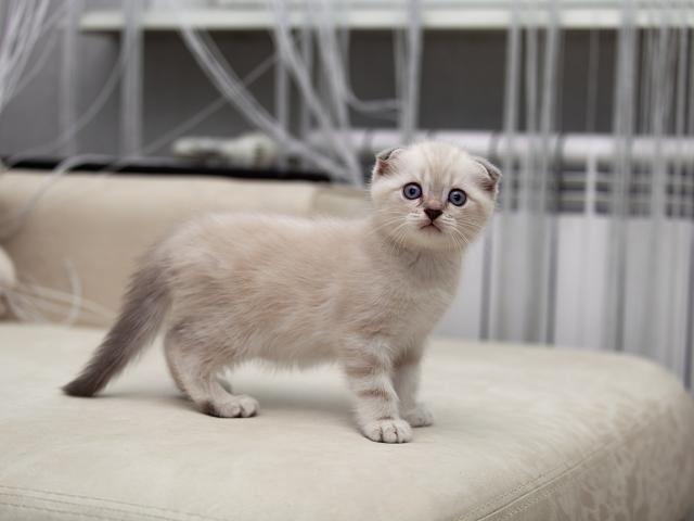 Продаю: Чистокровные шотландские короткошерстные котята