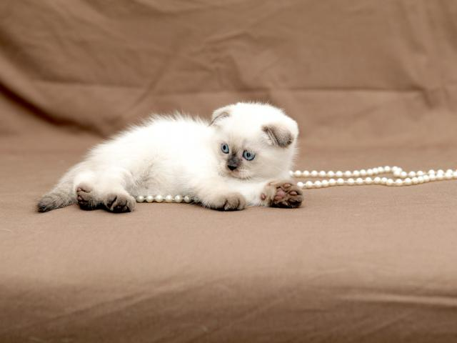 Продаю: Чистокровные шотландские короткошерстные котята фото2