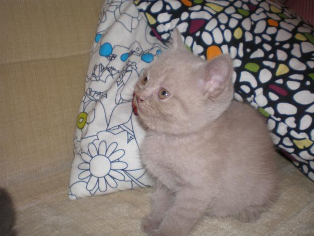 Продаю: Британские котята, домашний любимец