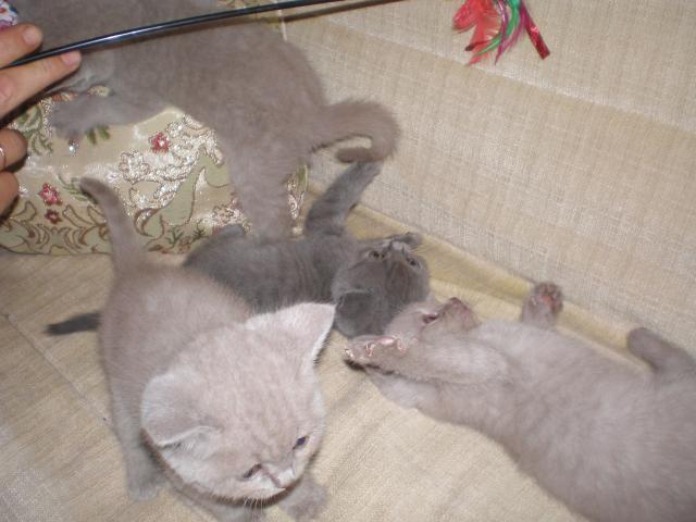 Продаю: Британские котята, домашний любимец фото2