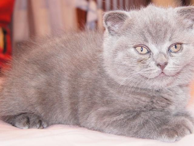 Продаю: Голубой шотландский вислоухий котенок Фолд