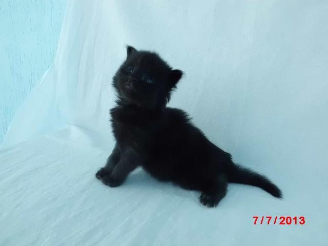 Продаю: котята мейн-кун из питомника Fantasy Forever