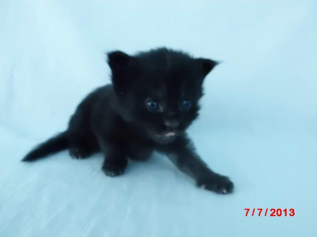 Продаю: котята мейн-кун из питомника Fantasy Forever фото2