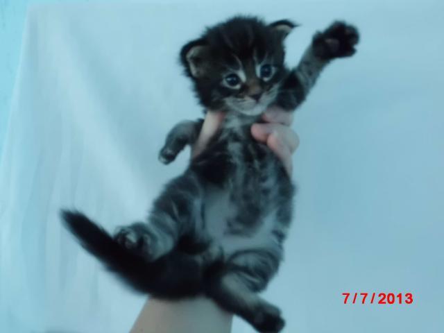 Продаю: котята мейн-кун из питомника Fantasy Forever фото3