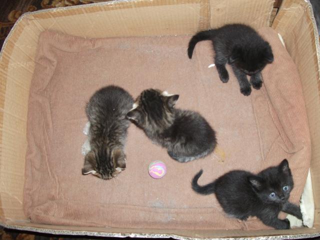 Отдам в дар: Милые пушистые котята породы Скоттиш-страйт