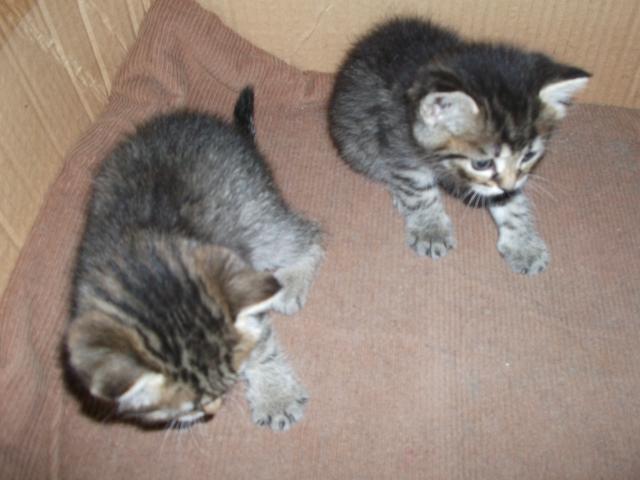 Отдам в дар: Милые пушистые котята породы Скоттиш-страйт  фото2