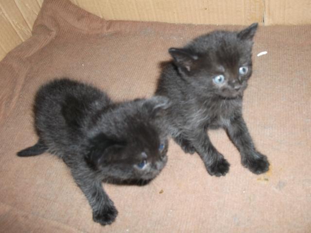 Отдам в дар: Милые пушистые котята породы Скоттиш-страйт  фото3