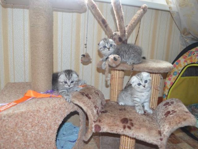 Продаю:  шотландских вислоухих котят с родословной фото2