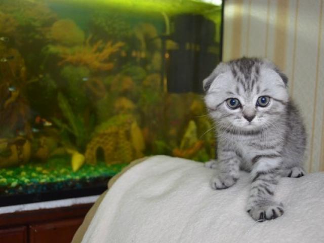 Продаю:  шотландских вислоухих котят с родословной