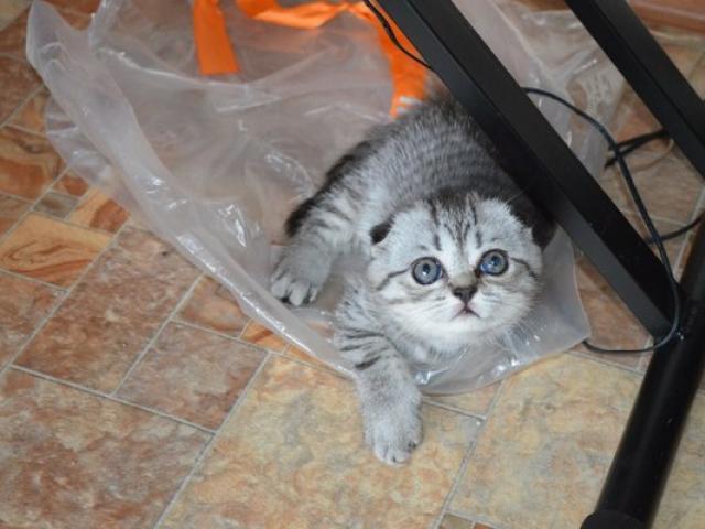 Продаю:  шотландских вислоухих котят с родословной фото3