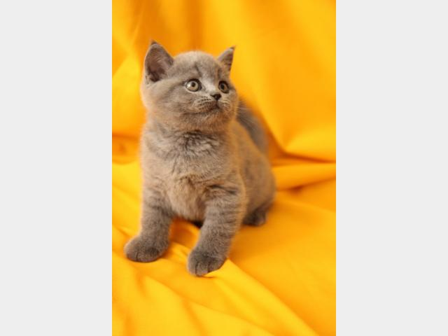 Продаю:  котенка фото4