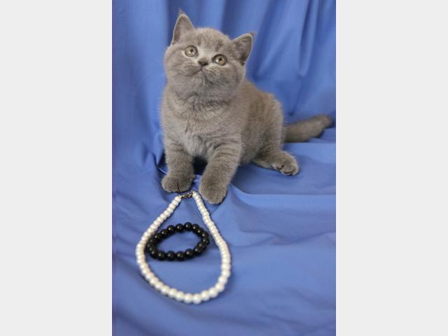 Продаю:  котенка фото3
