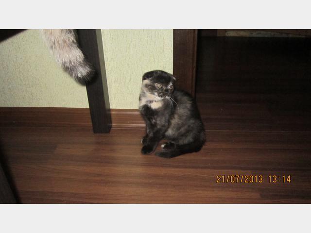 Продаю: Шотландские котята фото4