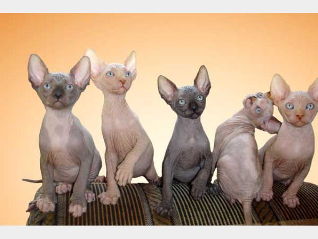 Продаю: канадский сфинкс котята