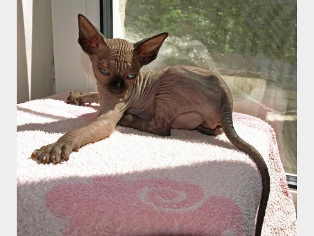 Продаю: канадский сфинкс котята фото3