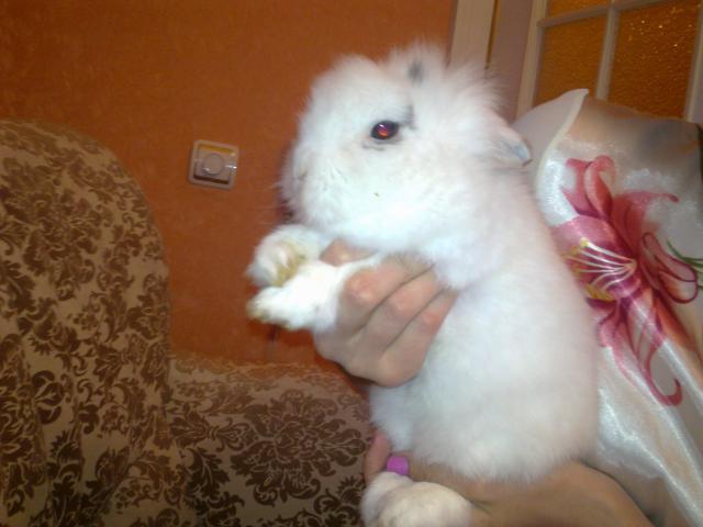 Отдам в дар: Отдам кролика карликового