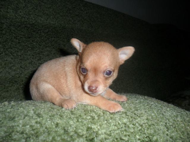 Продаю:  щенков чихуа фото2