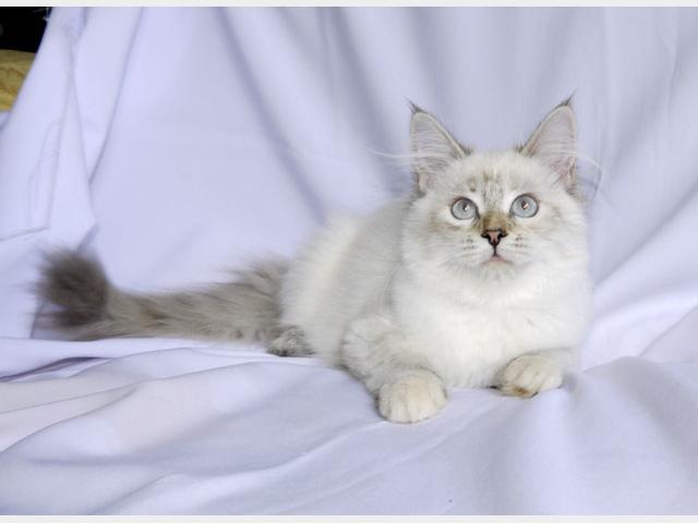 Продаю:  НЕВСКИЕ маскарадные котята от ЧЕМПИОНОВ МИРА