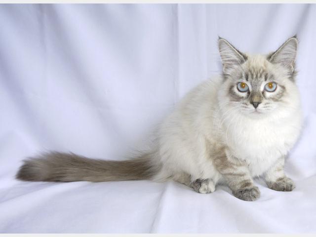 Продаю:  НЕВСКИЕ маскарадные котята от ЧЕМПИОНОВ МИРА фото2