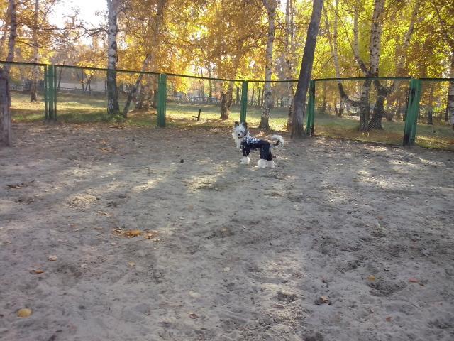 Продаю: Подрощенный щенок китайской хохлатой фото2