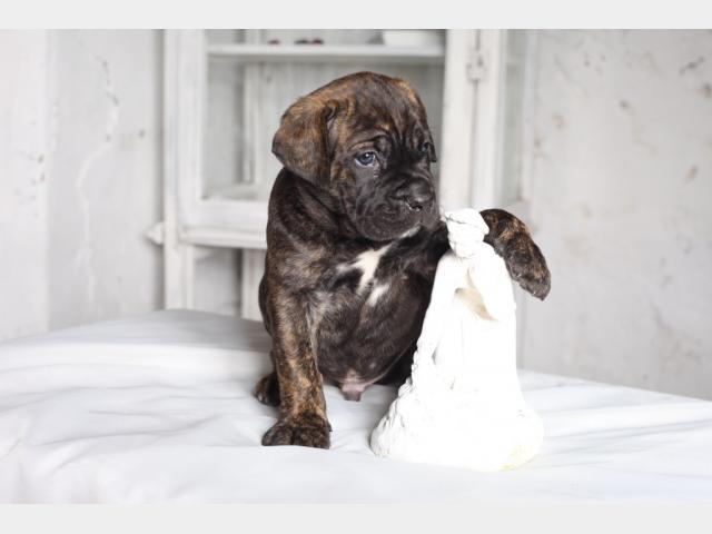 Продаю: Алиментные щенки Кане Корсо