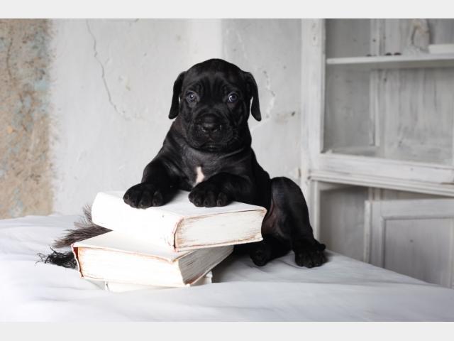 Продаю: Алиментные щенки Кане Корсо фото2