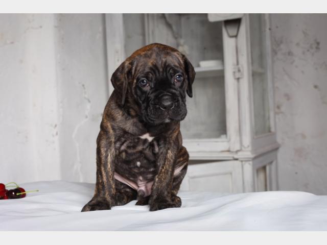 Продаю: Алиментные щенки Кане Корсо фото3