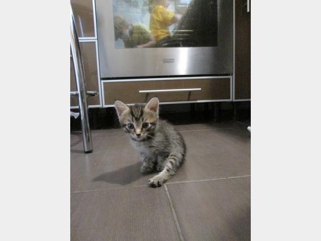 Отдам в дар: полосатый котенок