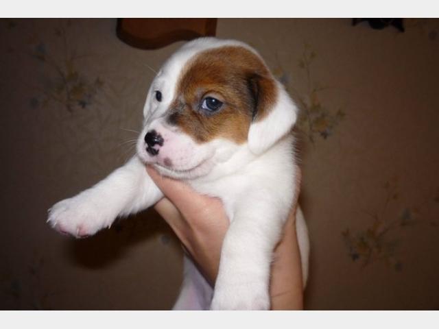 Продаю: щенки джек-Рассел терьера фото2
