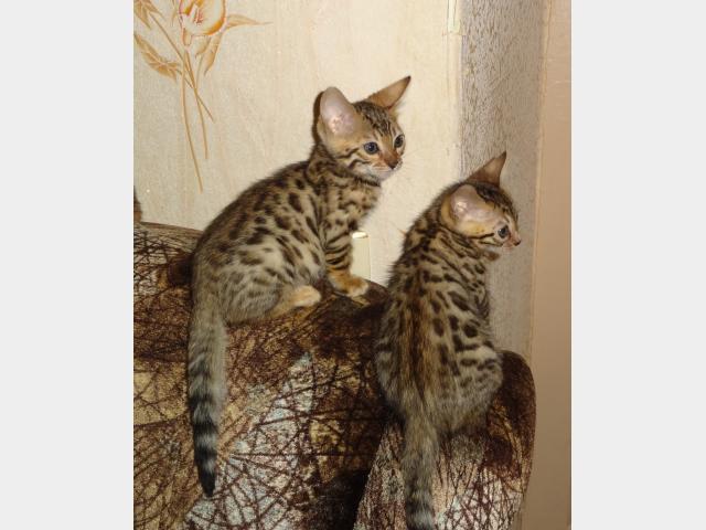 Продаю: котята для души и в разведение