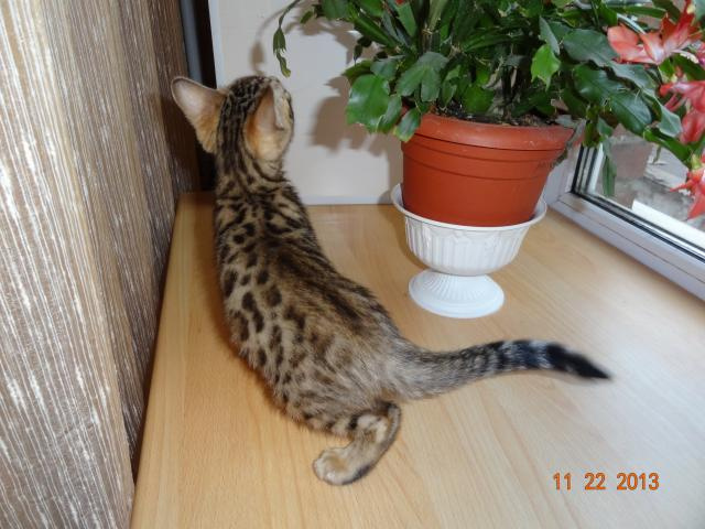 Продаю: котята для души и в разведение фото2
