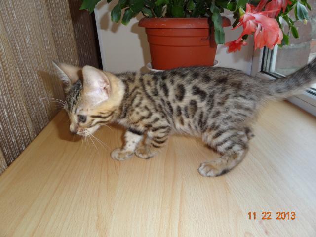 Продаю: котята для души и в разведение фото3