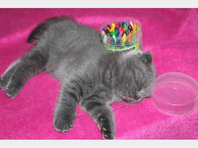 Продаю: Игривая, забавная, ласковая кошечка шотландка фото2