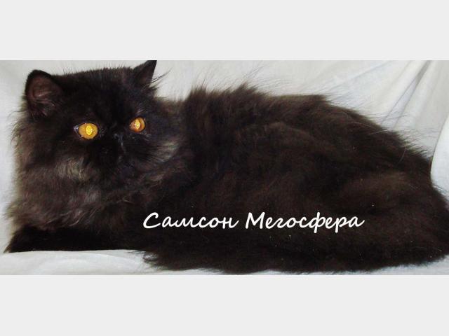Продаю: Персидский котик