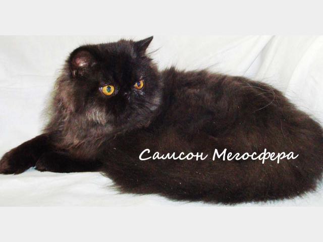 Продаю: Персидский котик фото2